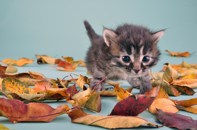 Download Small 20 Days Old  Kitten In Autumn Leaves Stock Image - Image: 35211899