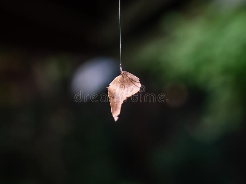 Dead leaf on spider silk royalty free stock images
