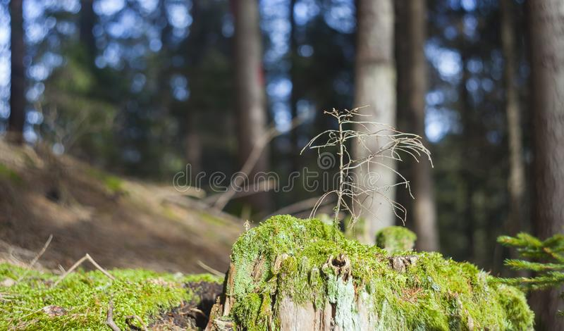Small dead or dry pine tree royalty free stock photo