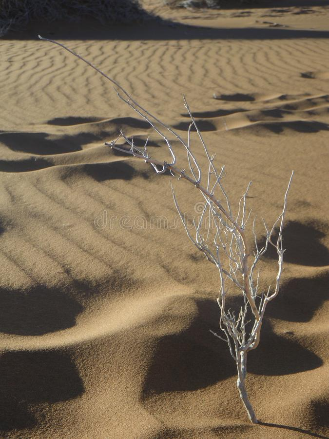 Small dead tree in the desert in Sossusvlei, Namibia stock photography