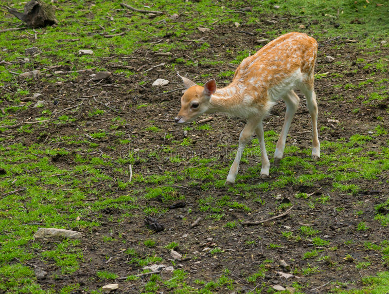 Download Small dear stock image. Image of wild, nature, dear, animal - 25852013