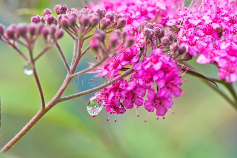 Small decorative pink flowers with long stamens with dew drops o download small decorative pink flowers with long stamens with dew drops o stock photo image mightylinksfo