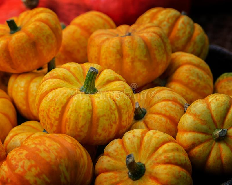 A small decorative pumpkin with yellow orange stripes, heap of pumpkins, close-up. Harvesting, Decoration with Dwarf Pumpkins, stock image