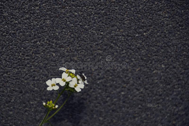Small delicate charming white flowers on a gray interesting background on a summer day royalty free stock photography