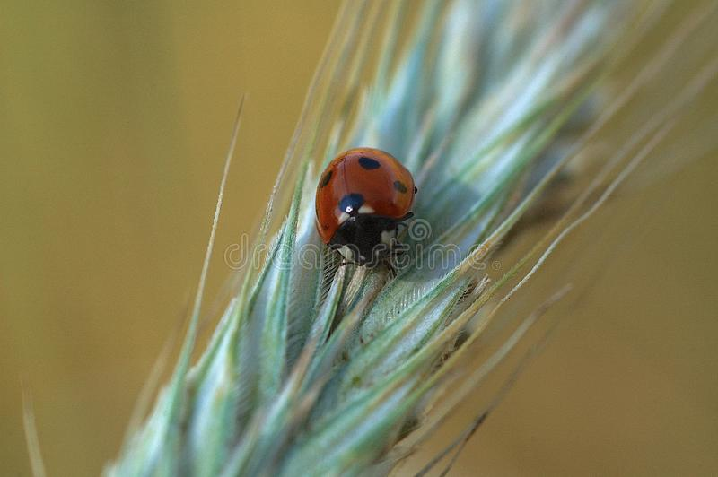 Small delicate ladybug in closeup sitting on a rye ears on a neutral background. Beautiful small delicate ladybug in closeup sitting on a rye ears on a neutral royalty free stock images