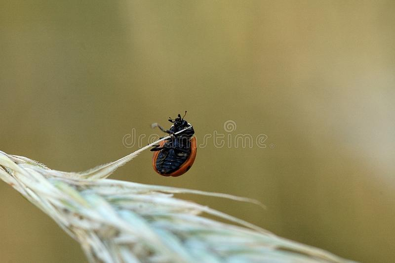 Small delicate ladybug in closeup sitting on a rye ears on a neutral background. Beautiful small delicate ladybug in closeup sitting on a rye ears on a neutral stock photos