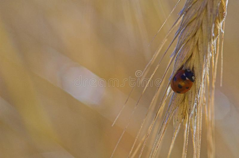 Small delicate ladybug in closeup sitting on a rye ears on a neutral background. Beautiful small delicate ladybug in closeup sitting on a rye ears on a neutral stock images