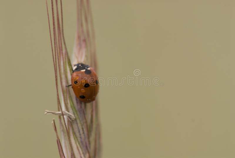 Small delicate ladybug in closeup sitting on a rye ears on a neutral background. Beautiful small delicate ladybug in closeup sitting on a rye ears on a neutral royalty free stock image