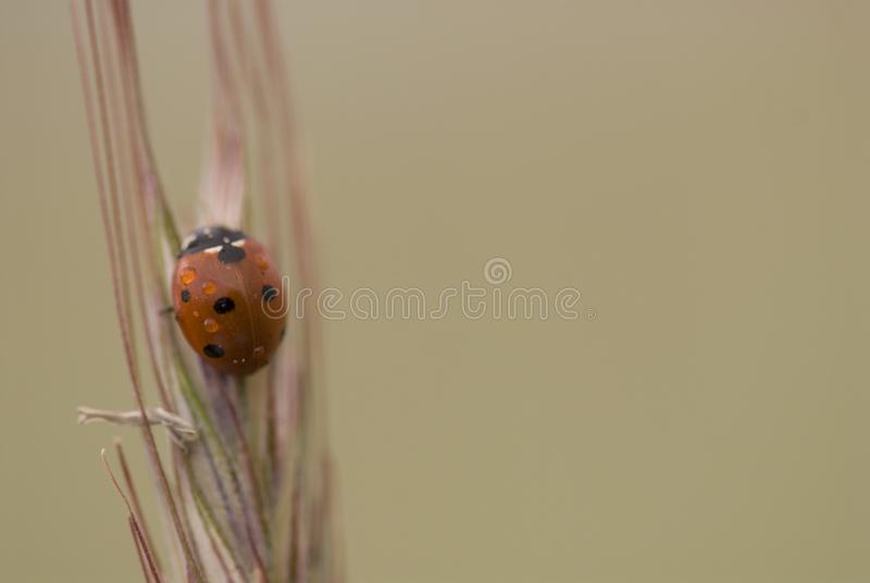 Small delicate ladybug in closeup sitting on a rye ears on a neutral background. Beautiful small delicate ladybug in closeup sitting on a rye ears on a neutral stock photo