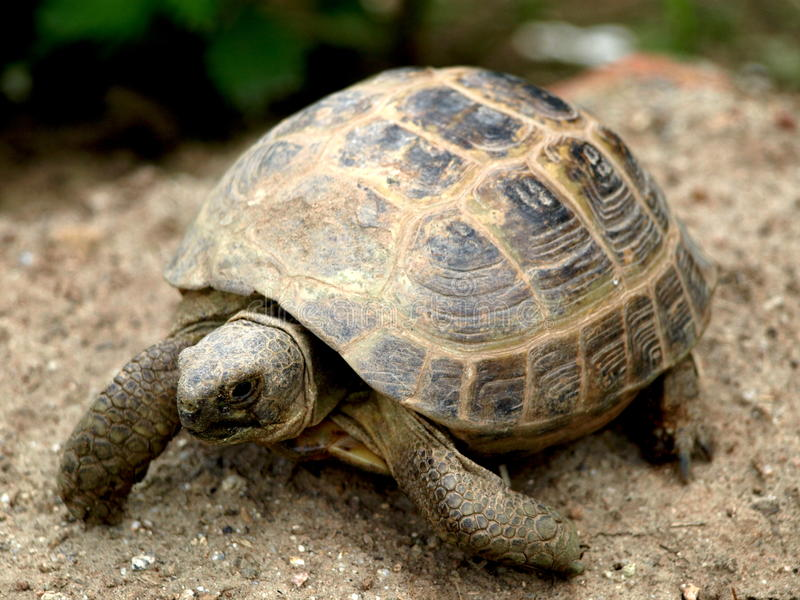 Small desert tortoise. Beautiful small desert tortoise mid walk in dirt, beautiful colours and details stock photography