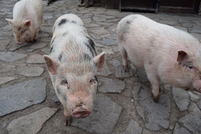 Small dirty pigs stock photo