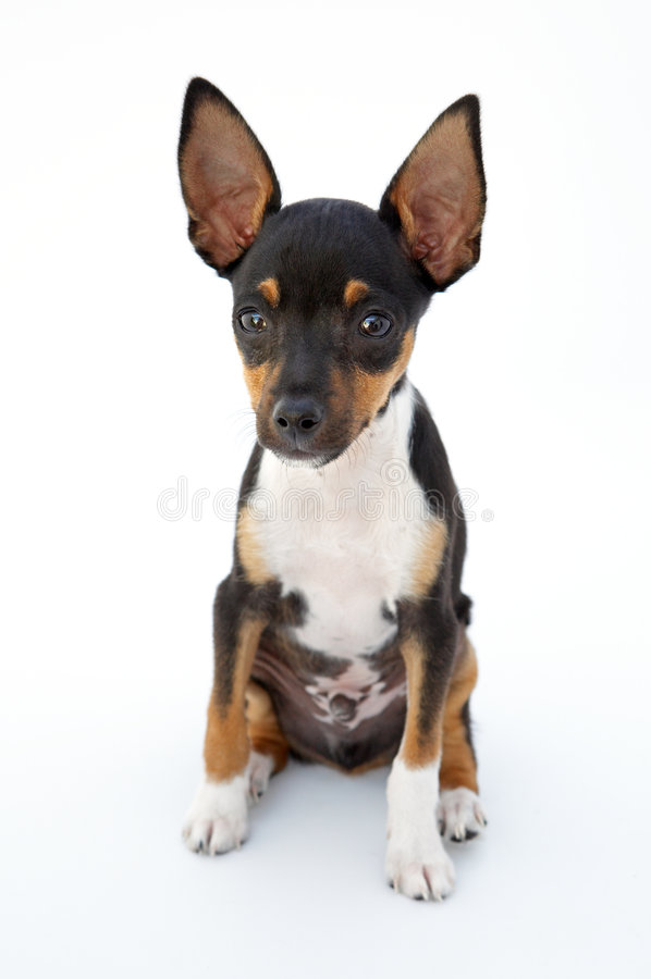 Small dog. Firings of a dwarfed dog that can be amused royalty free stock photography