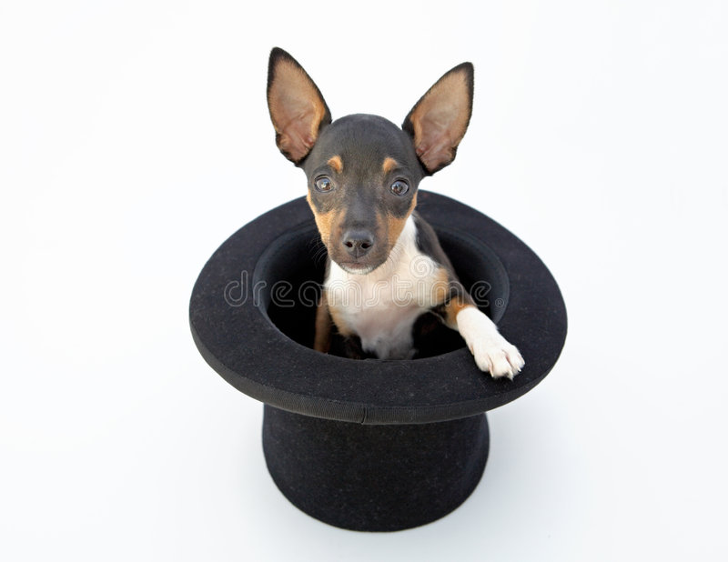 Small dog. Firings of a dwarfed dog that can be amused royalty free stock photos