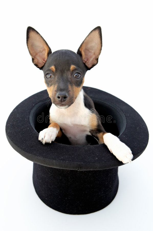 Small dog. Firings of a dwarfed dog that can be amused stock images