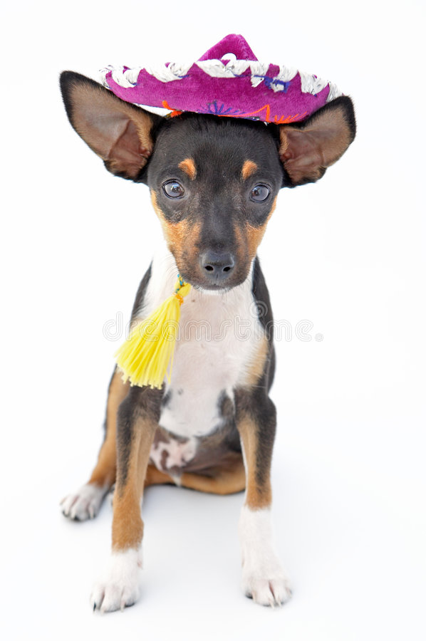 Small dog. Firings of a dwarfed dog that can be amused royalty free stock images