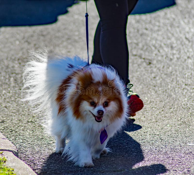 Small Dog at the annual Roanoke Valley SPCA 5K Tail Chaser royalty free stock images