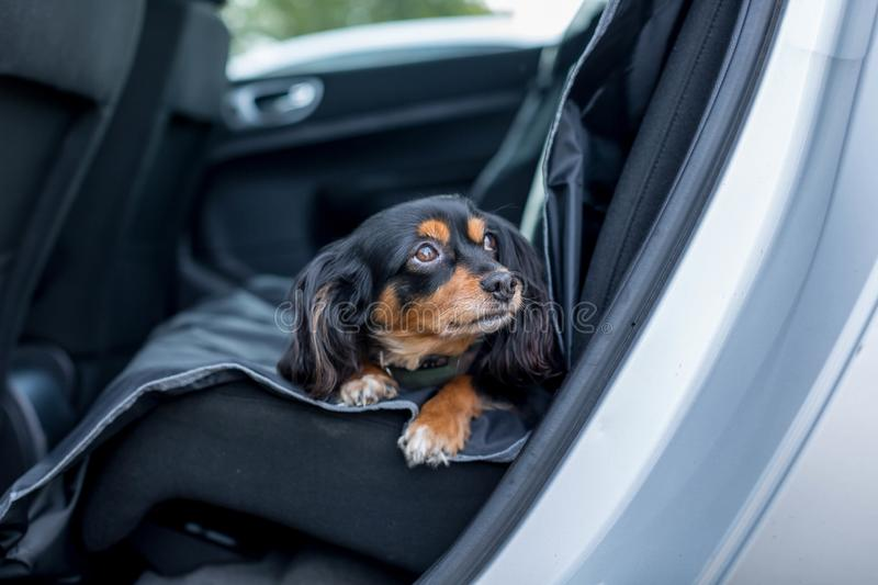 Small dog in the back seat of a car. Small pet dog laying down in the back seat of a car with pleading eyes royalty free stock photo