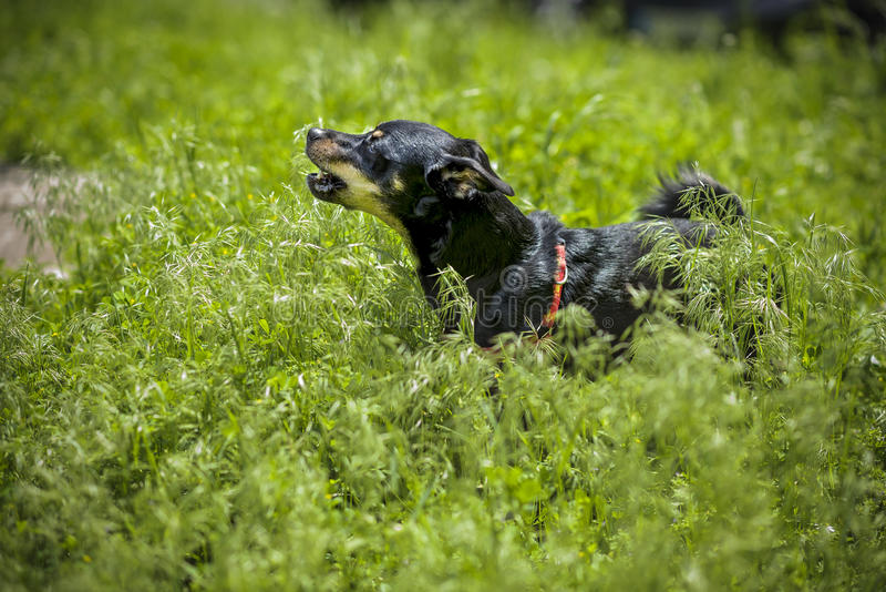 Small dog barking in grass royalty free stock image