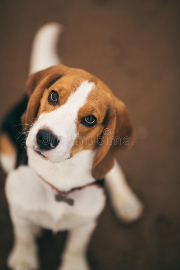 Small dog, beagle puppy walking on the beach royalty free stock images