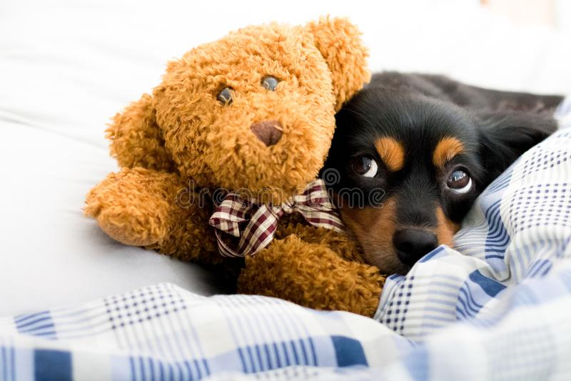 Small dog in bed cuddling a cute brown teddy bear. Small dog lying on a bed cuddling a cute teddy bear stock photos