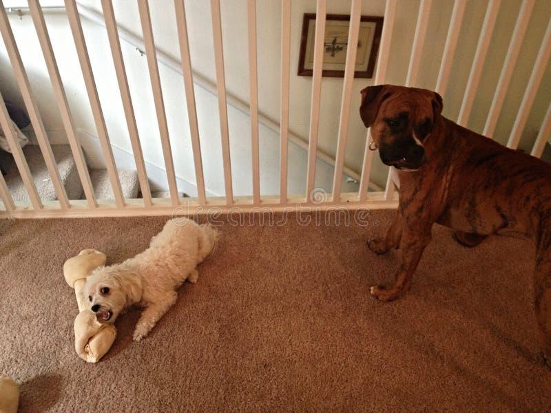 Small dog and a big dog stock photography