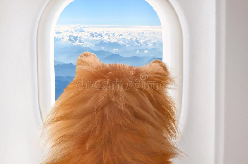 Small dog on board of airplain looking out the window at the clouds while traveling, selective focus stock image