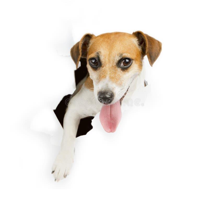 Small dog breaks through the banner stock photos