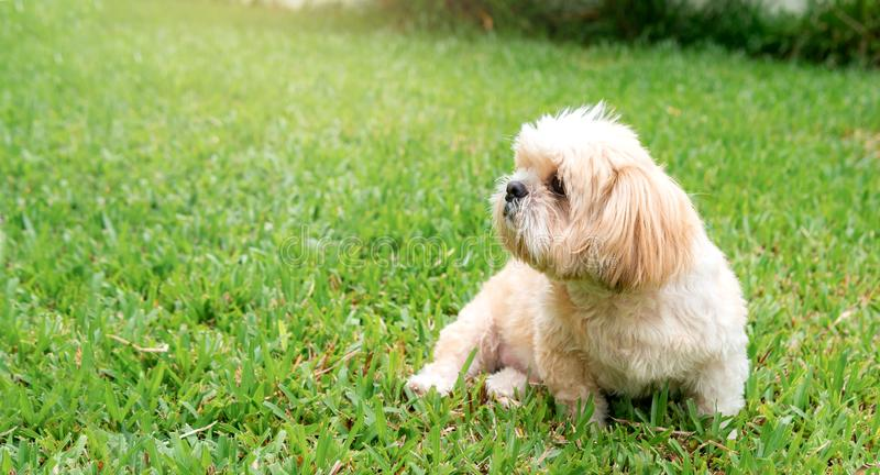 Small dog breeds shih tzu brown fur in green lawn. And were seated at a lovely gesture and a lovely and loyal pets.And can be used as background stock photo