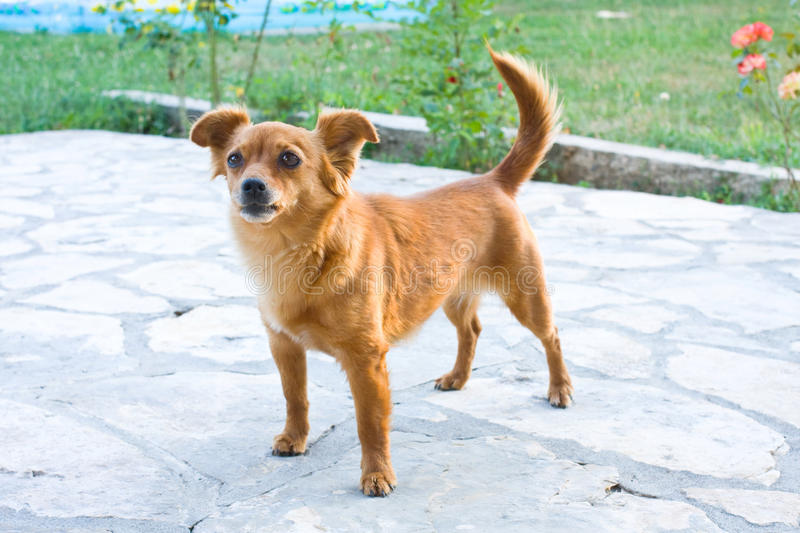 Small dog. Small brown dog looking ahead stock photography