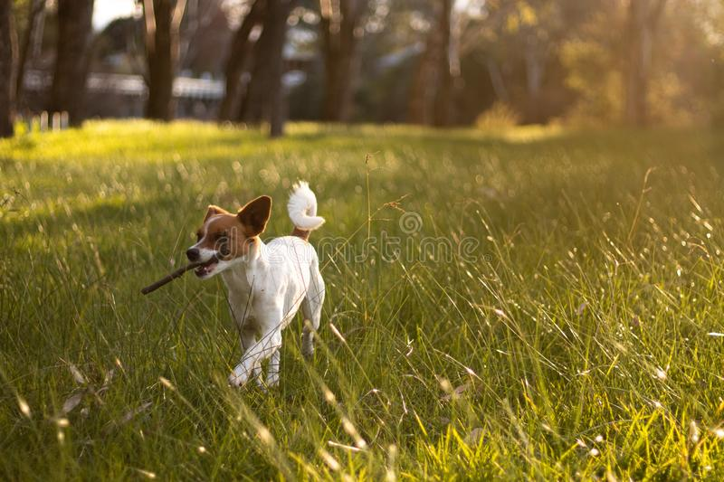 Small dog carrying stick during golden hour glow stock photos