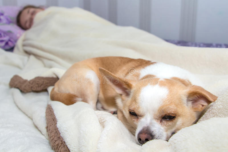 Small dog chihuahua sleeping in bed royalty free stock images