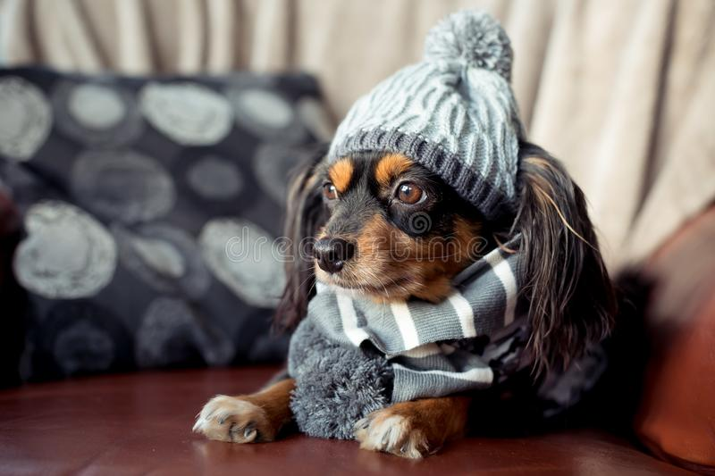 Small dog on a couch with winter gear on stock photos