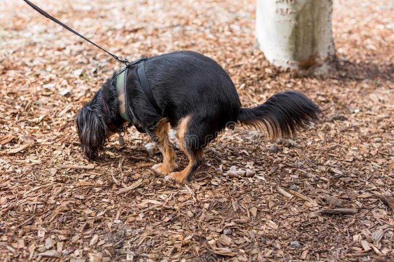 Small dog defecating in an outdoor park. Dog defecating on a walk in a park highlighting the importance of cleaning up the waste royalty free stock photo