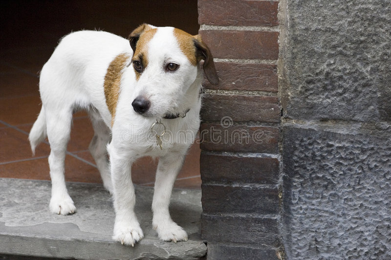Download Small dog in doorway stock image. Image of stone, white - 251939