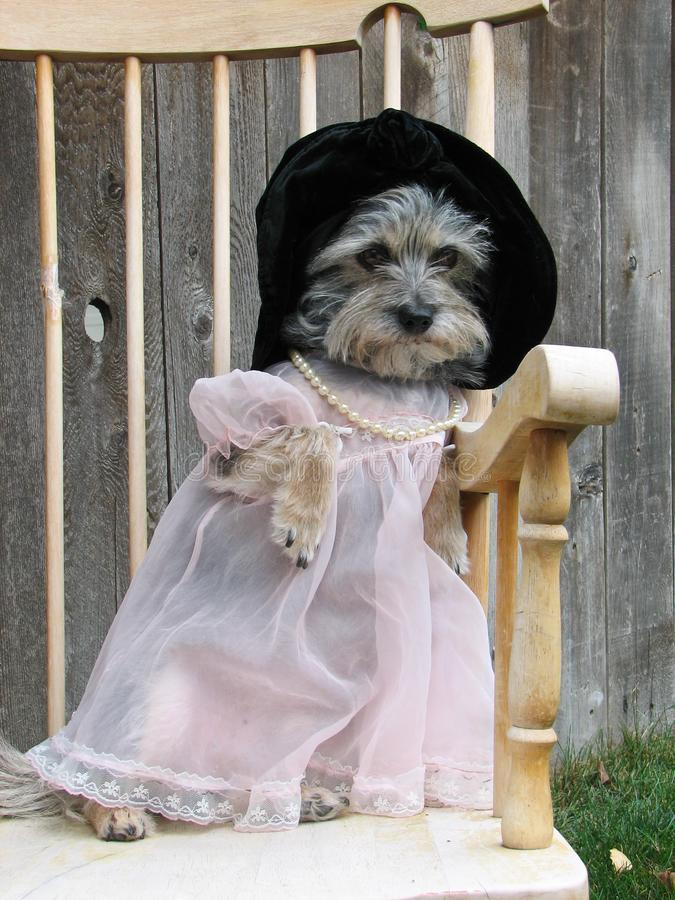 A small dog in a dress hat and pearls sitting in a chair outside. Posing nicely royalty free stock images
