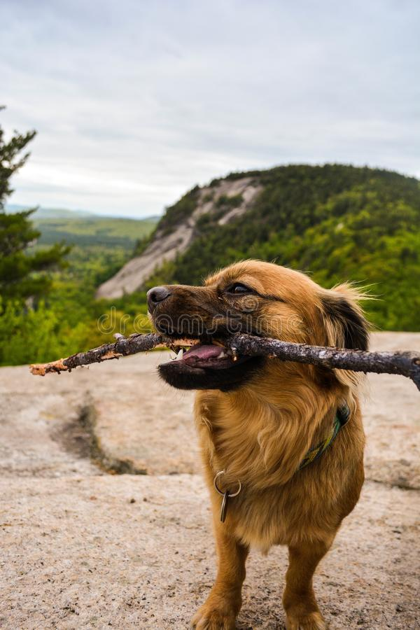 Dog pet overlooking Viewpoint over evergreen forest in New Hampshire Woods royalty free stock image