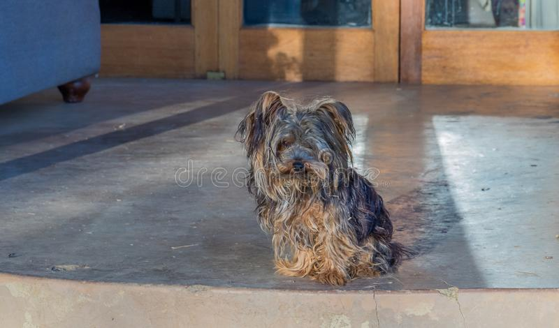Small dog on guard at front door. A scruffy small black and tan dog sits at the top step to the front door of a house image with copy space stock image