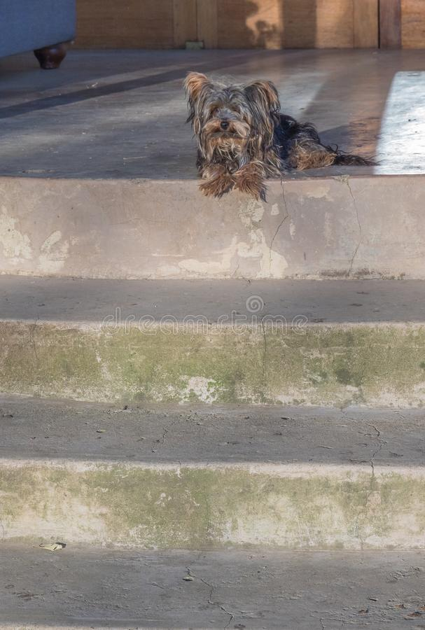 Small dog on guard at front door. A scruffy small black and tan dog sits at the top step to the front door of a house image with copy space stock photos