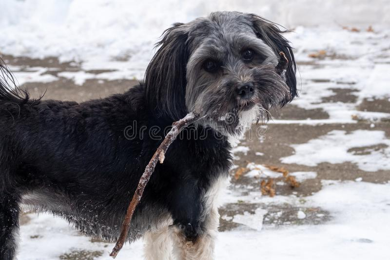 Small dog holding a stick in his mouth in wintertime royalty free stock photo