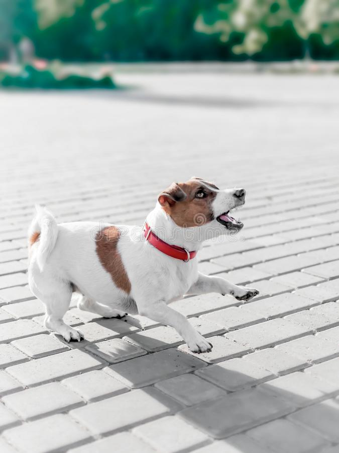A small dog jack russell terrier in red collar running, jumping, playing and barking on gray sidewalk tile at sunny. Summer day stock photos
