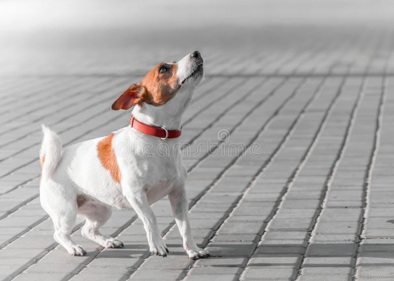 A small dog jack russell terrier in red collar running, jumping, playing and barking on gray sidewalk tile at sunny. Summer day stock photography