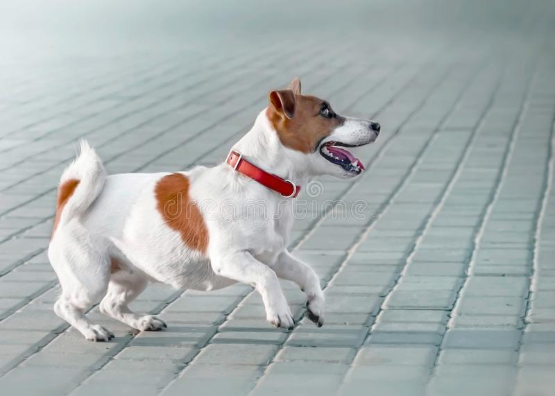 A small dog jack russell terrier in red collar running, jumping, playing and barking on gray sidewalk tile at sunny. Summer day stock photo