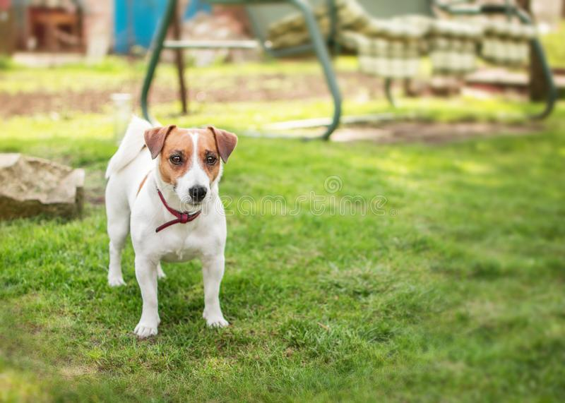 A small dog Jack Russell Terrier standing on green grass in yard at summer sunny day. Terrier dog unleashed outdoor. royalty free stock images