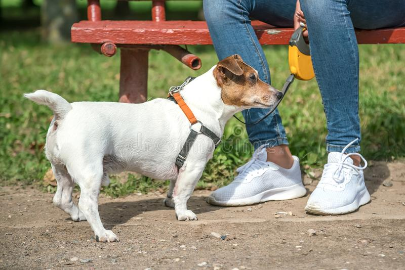 small dog Jack Russell Terrier stands at the feet of its owner stock image