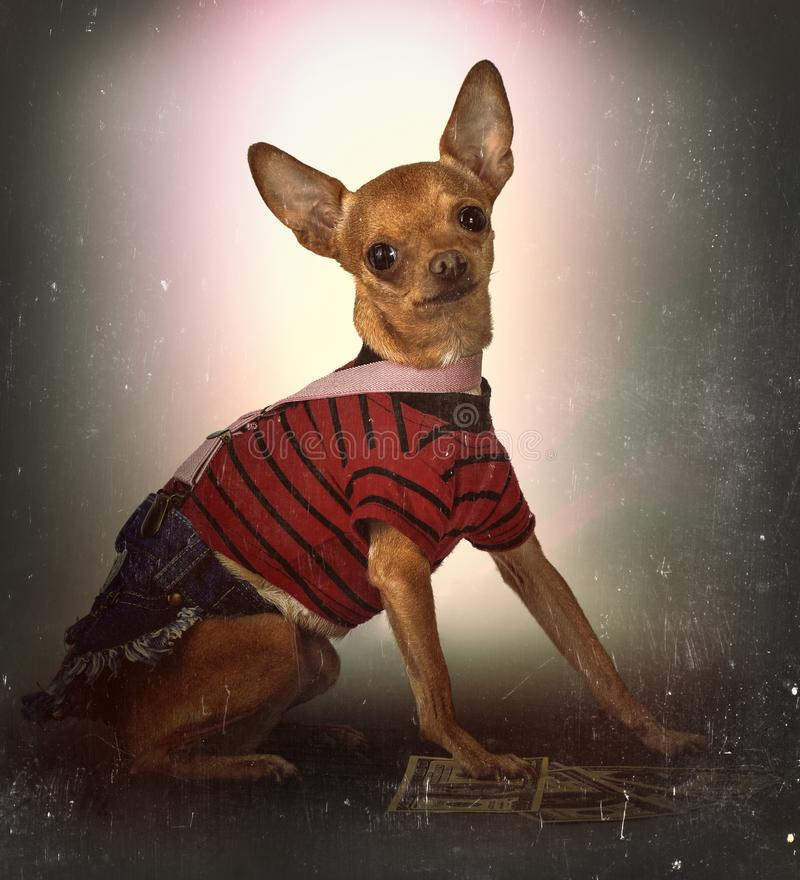 Small dog in a jeans skirt stock photo