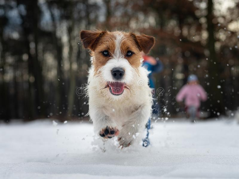 Small dog jumping in the snow, photo from low position. Sharp and dynamic photo of jack russell terrier. stock image