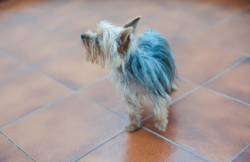 Little dog looks away royalty free stock image