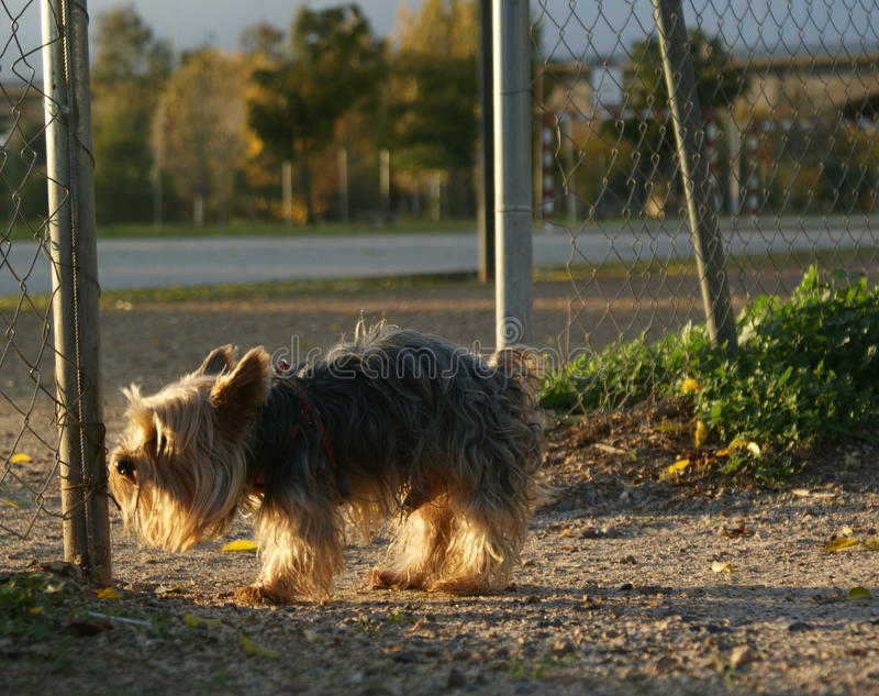 Small dog looking where he will leave his trail stock photo