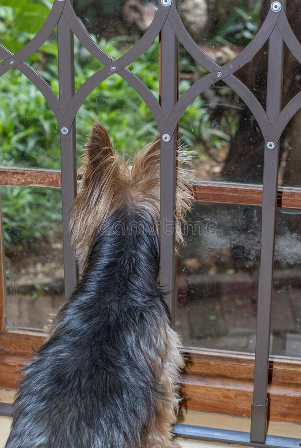 Small dog looking through the window of a home stock photo