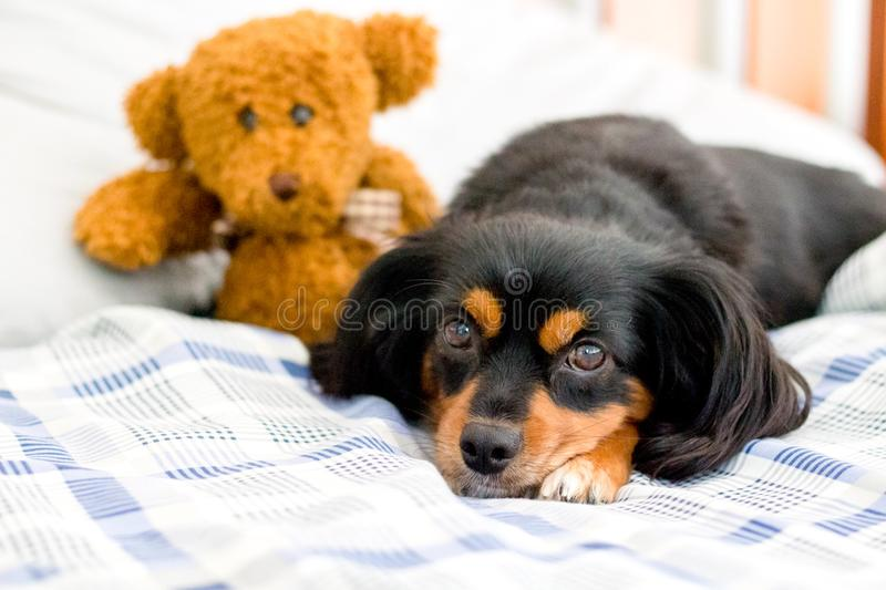 Small dog in bed cuddling a cute brown teddy bear. Small dog lying on a bed cuddling a cute teddy bear royalty free stock images